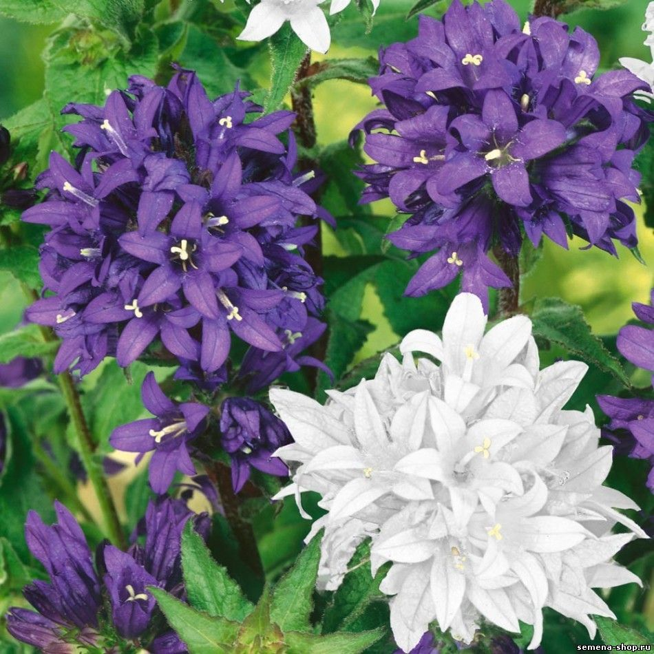 Семена многолетних цветов на заказ